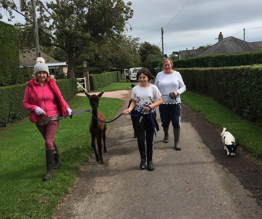 people walking alpaca