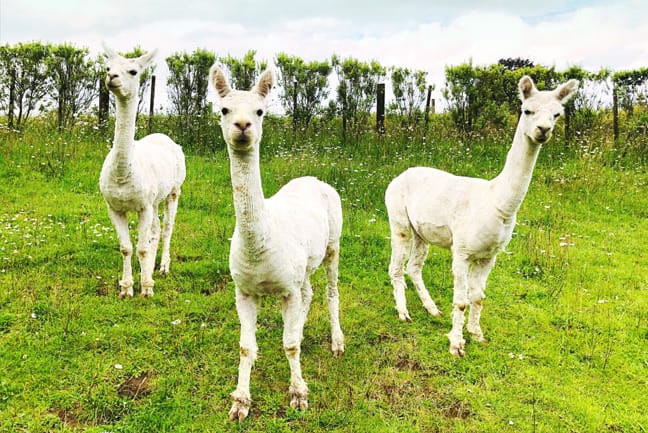 three alpaca standing in grass field