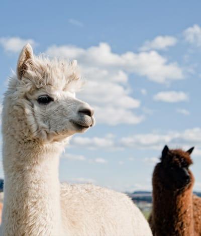 two alpaca standing