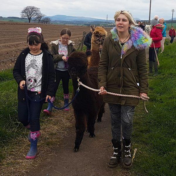 people walking alpacas