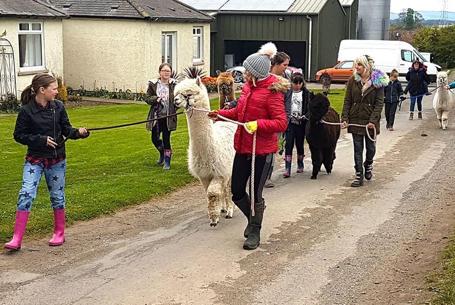 children walking alpacas