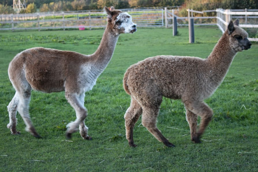 two alpaca running in paddock