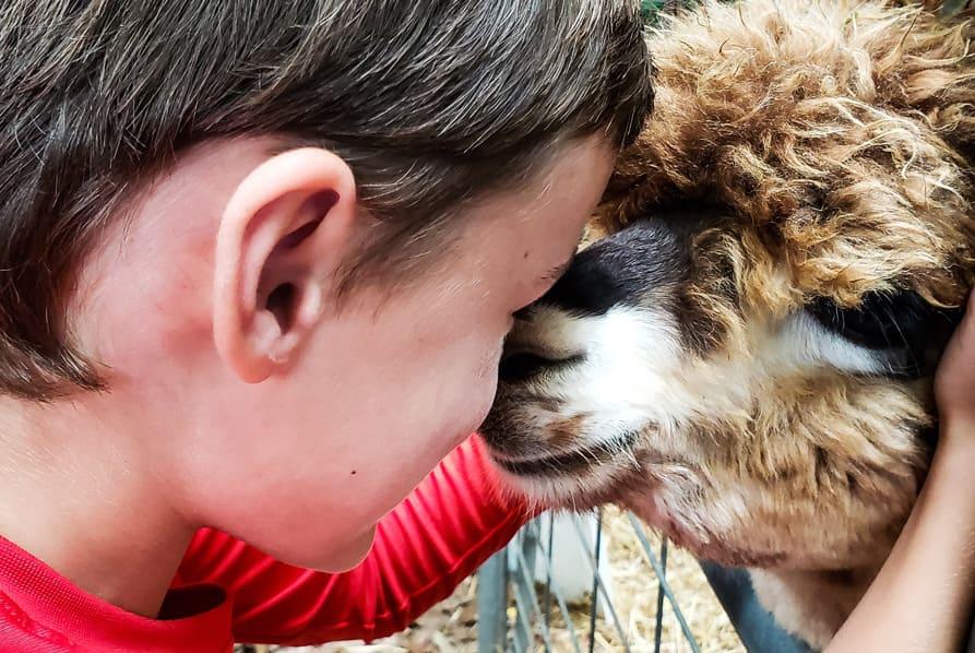 child cuddling alpaca through gate