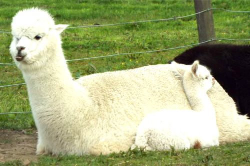 alpaca lying beside baby alpaca