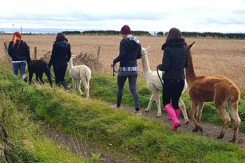People walking alpacas