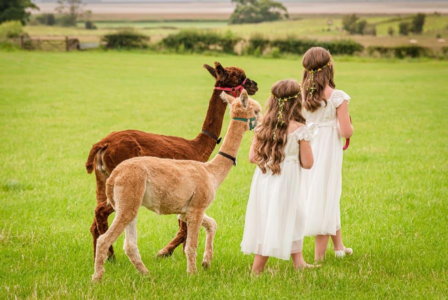 two children walking alpacas in green field